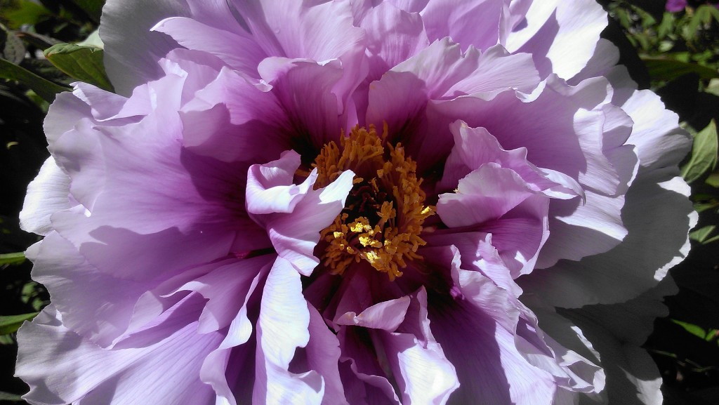 Brooklyn Botanical Garden Cover Peony